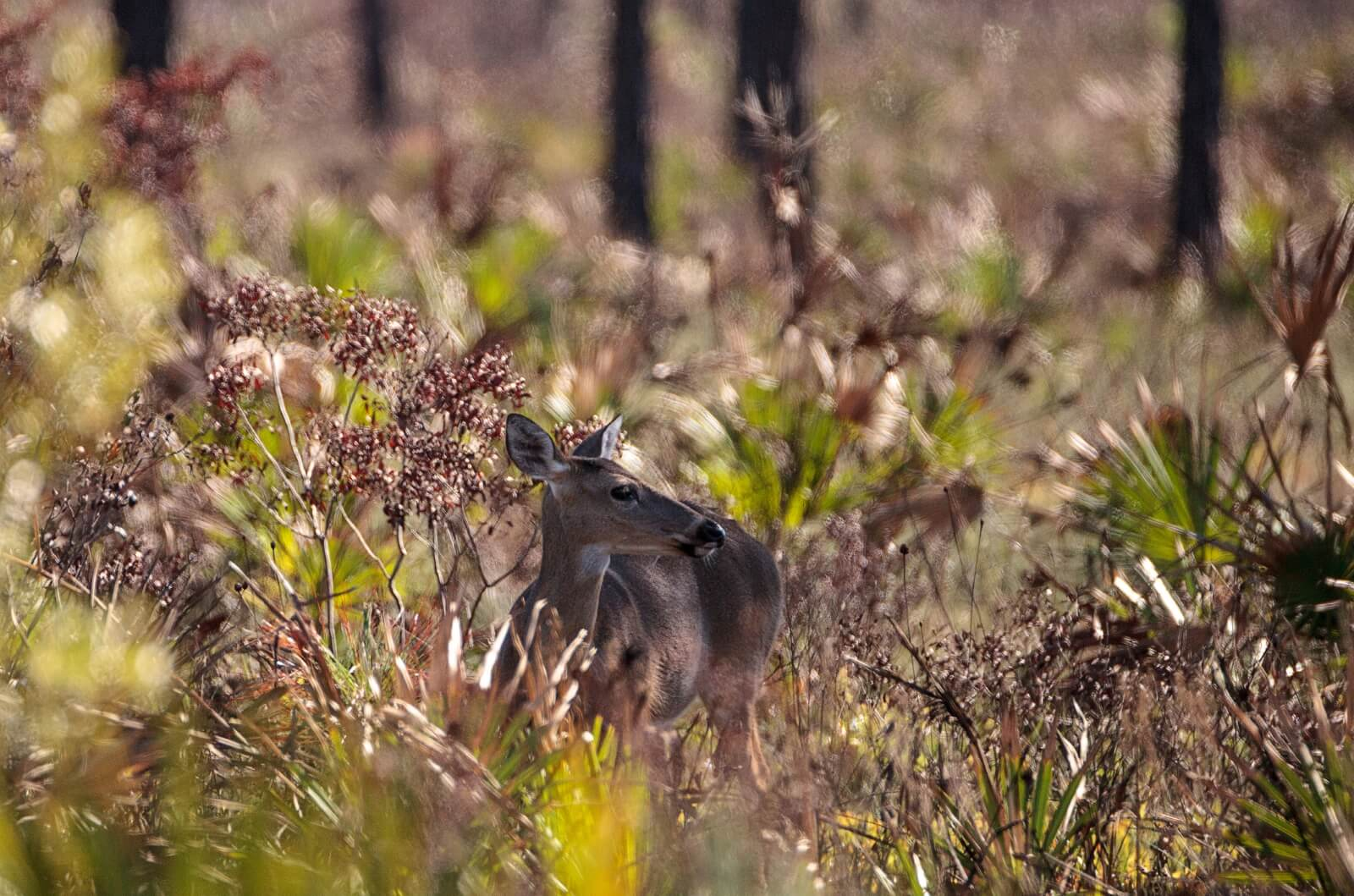 Why Deer Management is Important